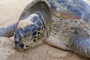 grüne Schildkröte, die am Strand nistet. foto