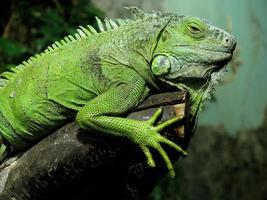 faules Reptil ruht auf dem Ast foto