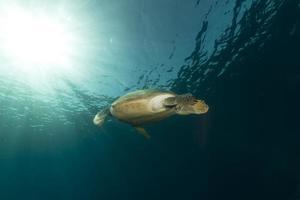 weibliche grüne Schildkröte im roten Meer.