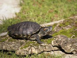 gemalte Schildkröte