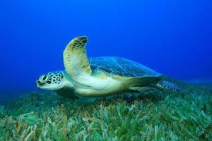 grüne Meeresschildkröte foto