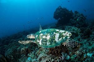 Meeresschildkröte in Gili Lombok Nusa Tenggara Barat unter Wasser