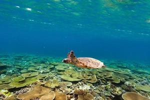 Schildkröte schwimmt unter Wasser foto