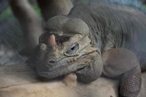großer Leguan foto