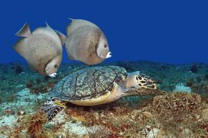 Paar graue Kaiserfische, die mit Karettschildkröte schwimmen