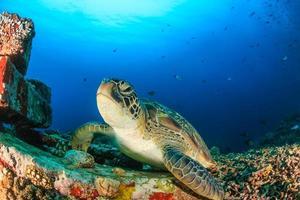 grüne Schildkröte auf einem künstlichen Riff
