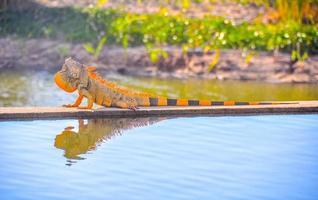 Pazifischer Leguan am Rande des Wassers foto