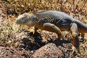 Landleguan in Galapagosinseln foto