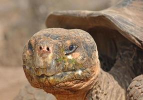 Riesenschildkröte, Galapagosinseln, Ecuador foto