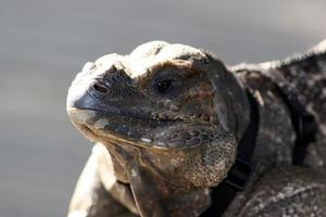 Grand Cayman Island Leguan foto