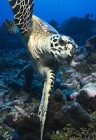 Hawkbill Meeresschildkröte / Eretmochelys Imbricata foto
