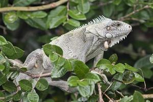 Leguan und seine Parasiten foto