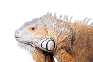 grüner Leguan auf weiß foto
