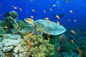 Karettschildkröte und tropischer Fisch