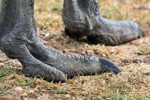 Pfote afrikanischen Strauß. das Bein des Vogels. Südafrika, лапа страуса африканского. нога птицы foto