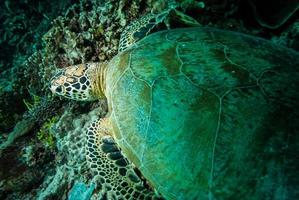 grüne Meeresschildkröte, die in Derawan, Kalimantan, Indonesien unter Wasser ruht foto