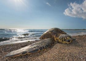grüne Schildkröte am Strand in Hawaii foto