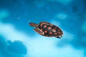 schwimmende Meeresschildkröte foto