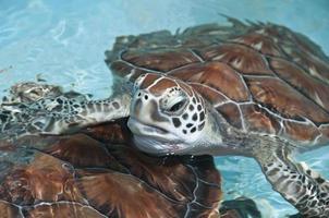 Meeresschildkröte schließen foto