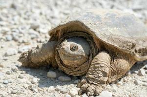 gewöhnliche Schnappschildkröte