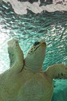 große Meeresschildkröte, die im Meer schwimmt foto