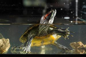 junge Schildkröte, die im Aquarium sitzt