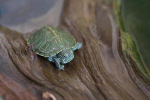 japanische kleine Schildkröten foto