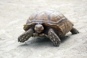 große Elefantenschildkröte, die auf Sand kriecht