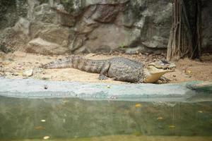 Krokodil foto