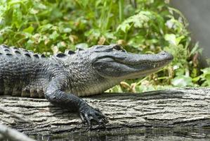 Florida Gator auf einem Baumstamm foto