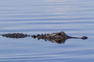 amerikanischer Alligator foto
