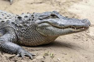 Alligatorkrokodil foto