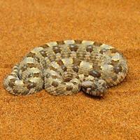 Wüstenhörnige Viper