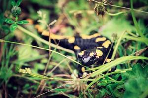 Feuersalamander, giftiges Tier, das in Europa lebt foto