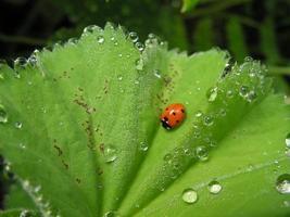 Marienkäfer auf einem grünen Blatt foto