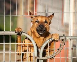 Wachhund, der hinter einem Drahttor hervorschaut foto