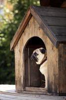 lustiger Mops Hund in der Hundehütte foto