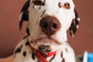 dalmatinischer Hund foto