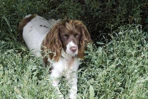 Haustier Hund. foto