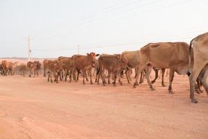 braune Kühe foto