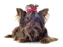 Schokoladen-Yorkshire-Terrier