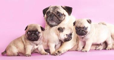 Welpen und Mutter von reinrassigen Hunderassen Mops