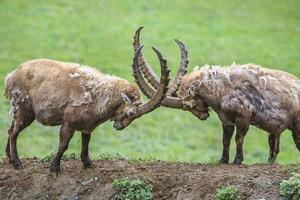 zwei männliche Steinböcke, Gran Paradiso National Park, Italien foto