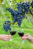 Zwei Hände rösten mit Rotwein in der Nähe von blauen Trauben