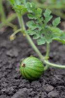 kleine Wassermelone foto