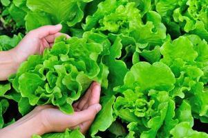 Salatpflanzen im Garten