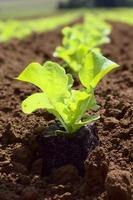junger, frischer Salat auf einem Feld foto
