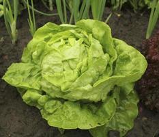 Salat (das ganze Jahr über) wächst im Boden foto