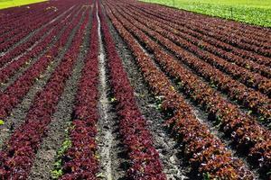 frischer Salat auf dem Feld foto