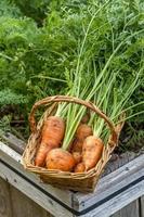 Karotten in einem Korb. foto